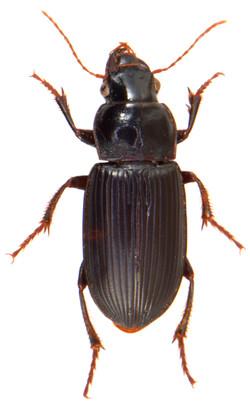 Harpalus calceatus