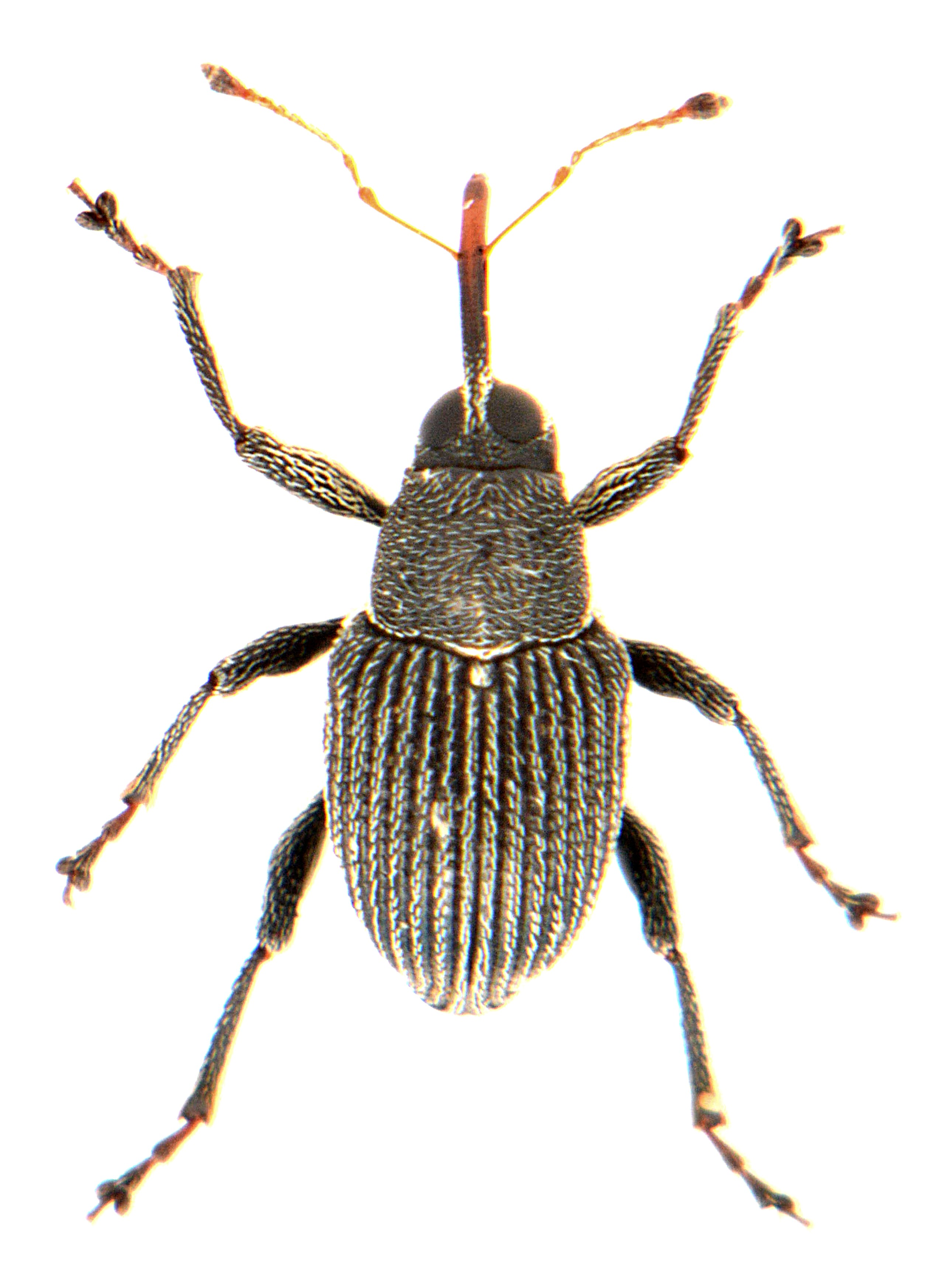 Archarius pyrrhoceras 2