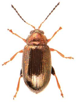Crepidodera plutus 1