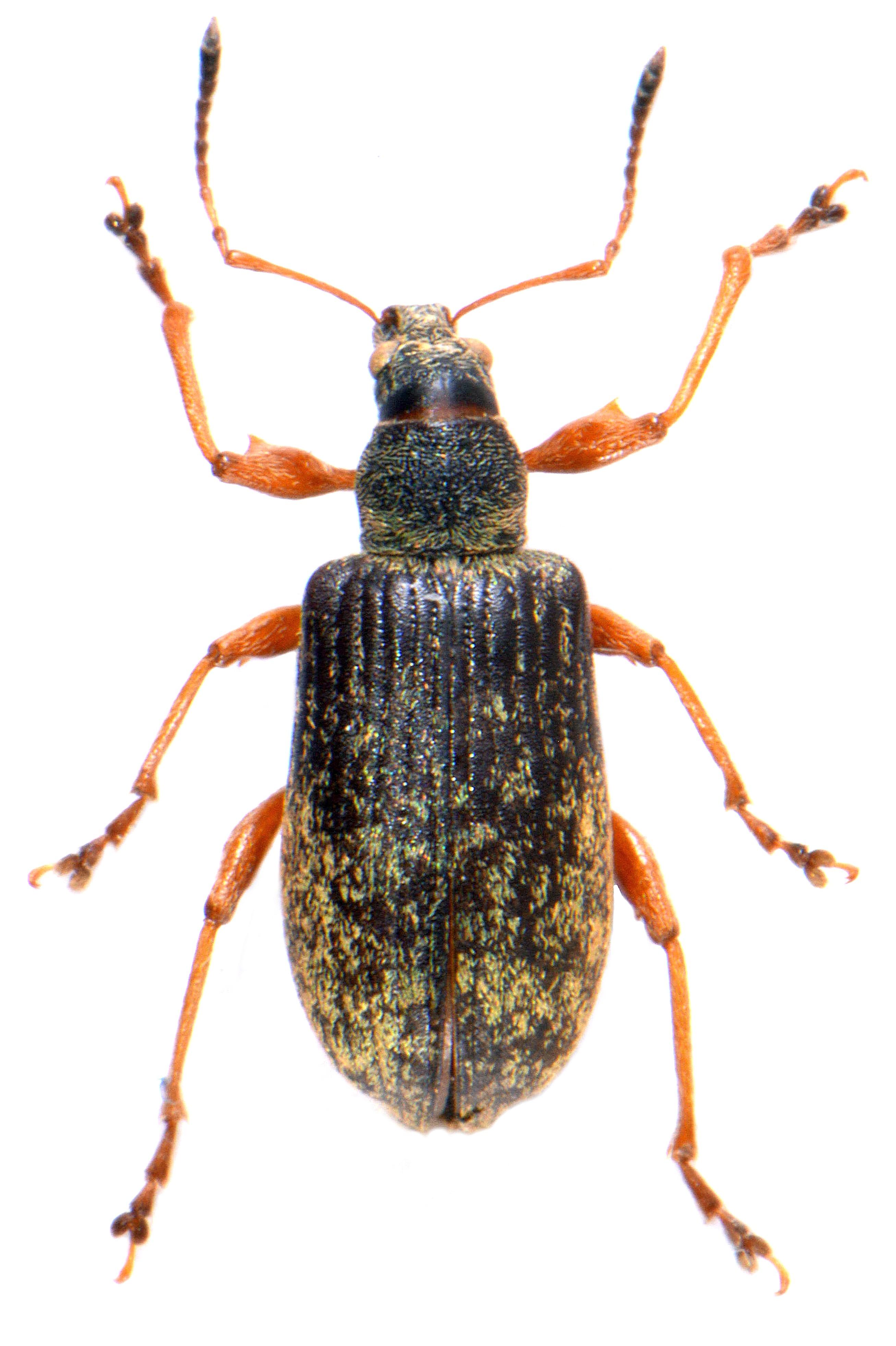 Phyllobius glaucus 2