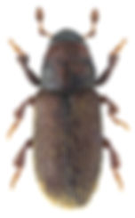 xylechinus_pilosus_1.jpg