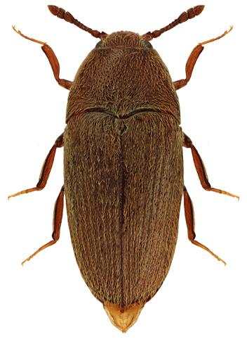 Trixagus gracilis