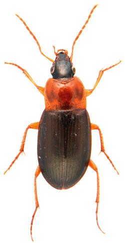 Calathus melanocephalus 2