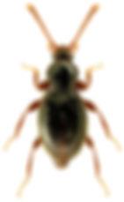 Stenichnus collaris.jpg