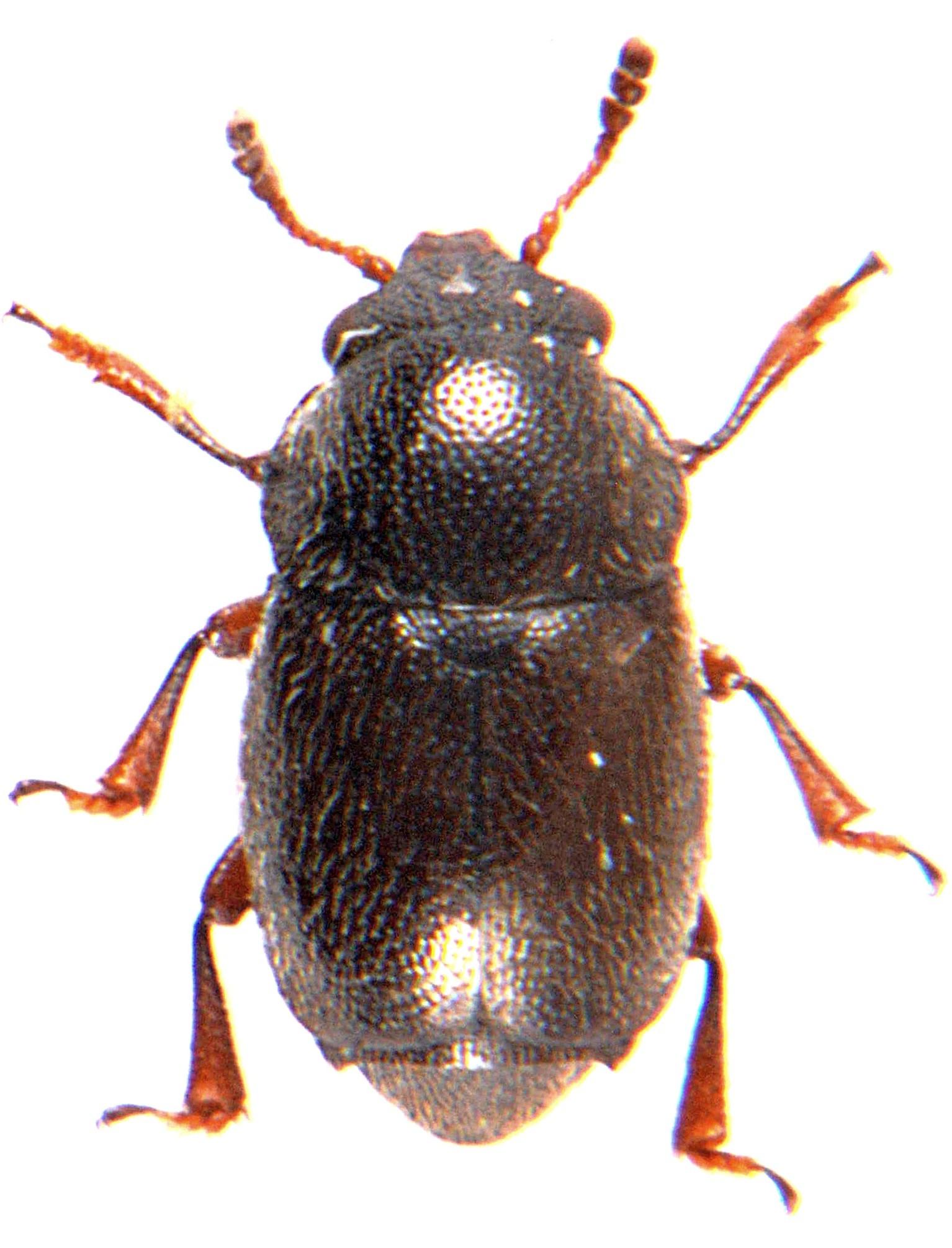 Brachypterus urticae 1