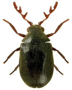 Dorcatoma dresdensis 2