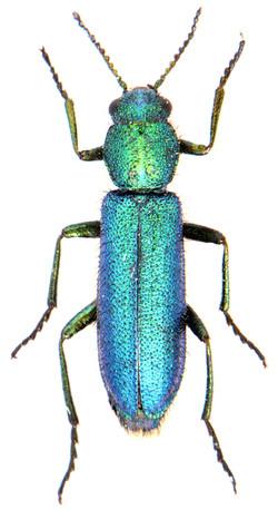 Psilothrix viridicoerulea 3