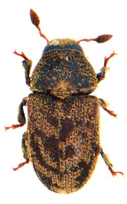 Hylesinus varius 2
