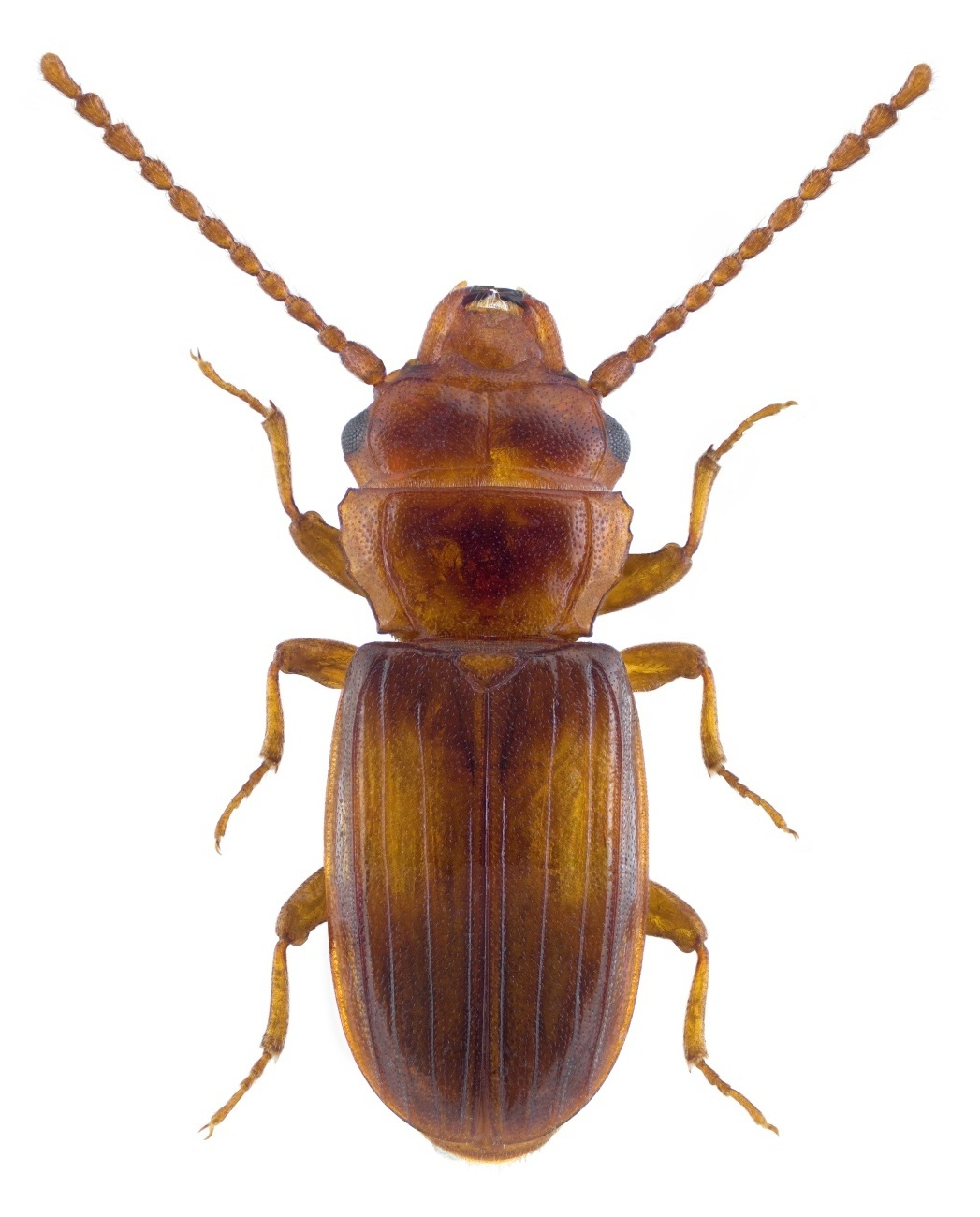 Laemophloeus monilis 2