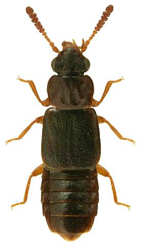 Phloeonomus punctipennis 2