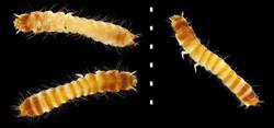 Mycetophagus quadripustulatus larva