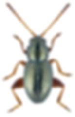 Batophila aerata.jpg