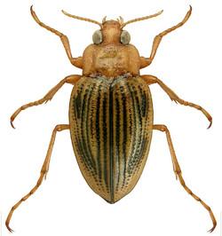 Brychius elevatus