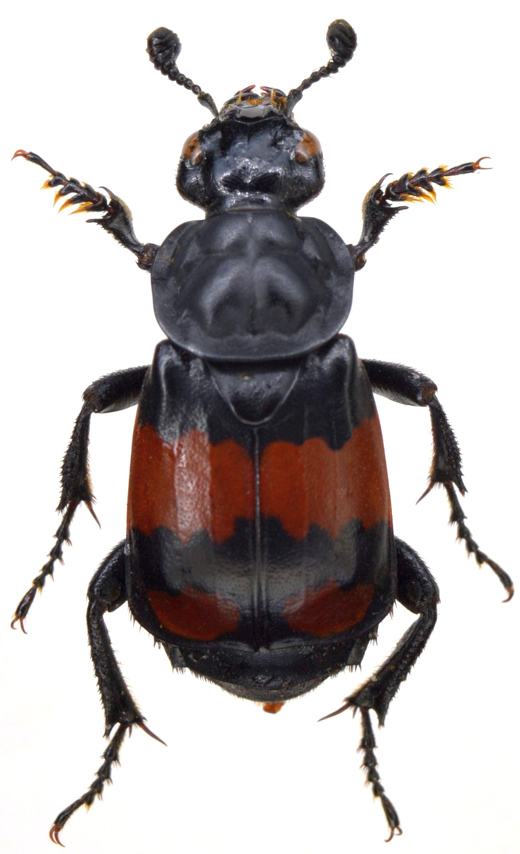 Silphidae Uk Beetles