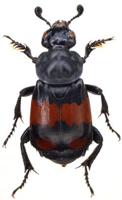 Nicrophorus vespilloides