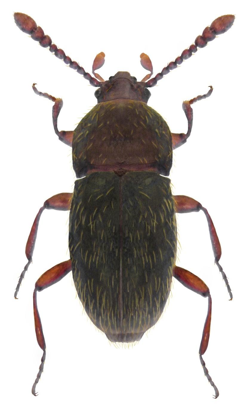Cephennium gallicum