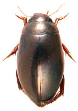 Ilybius fenestratus ♂