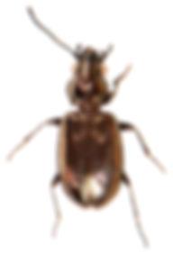Bembidion bipunctatum.jpg