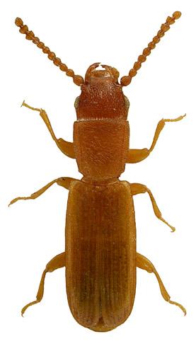 Leptophloeus clematidis