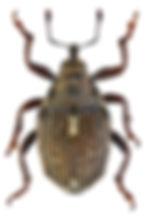 ethelcus_verrucatus_1.jpg