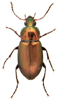 Poecilus cupreus 2
