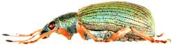 Polydrusus formosus 5
