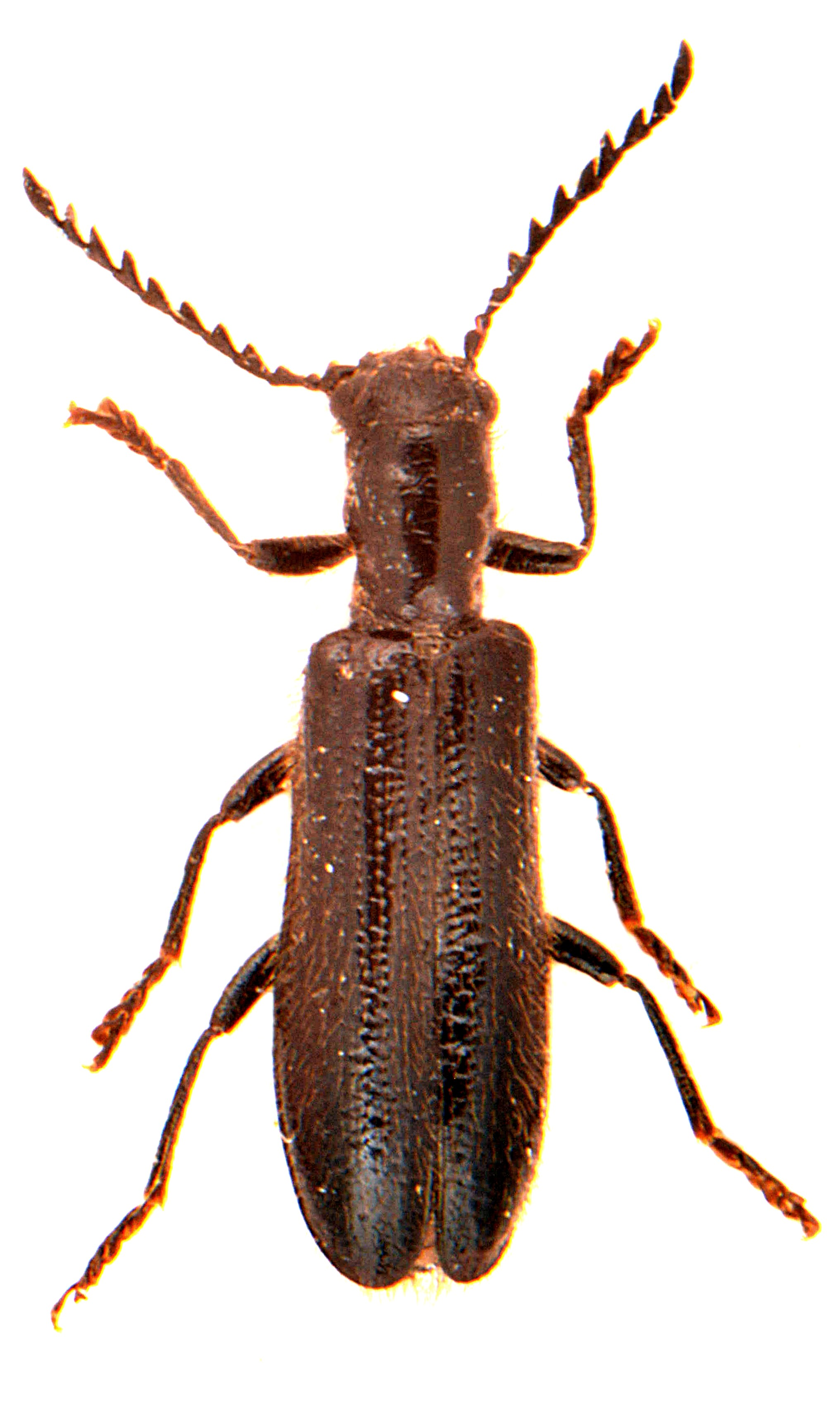 Tillus elongatus 2
