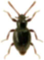Stenichnus scutellaris.jpg