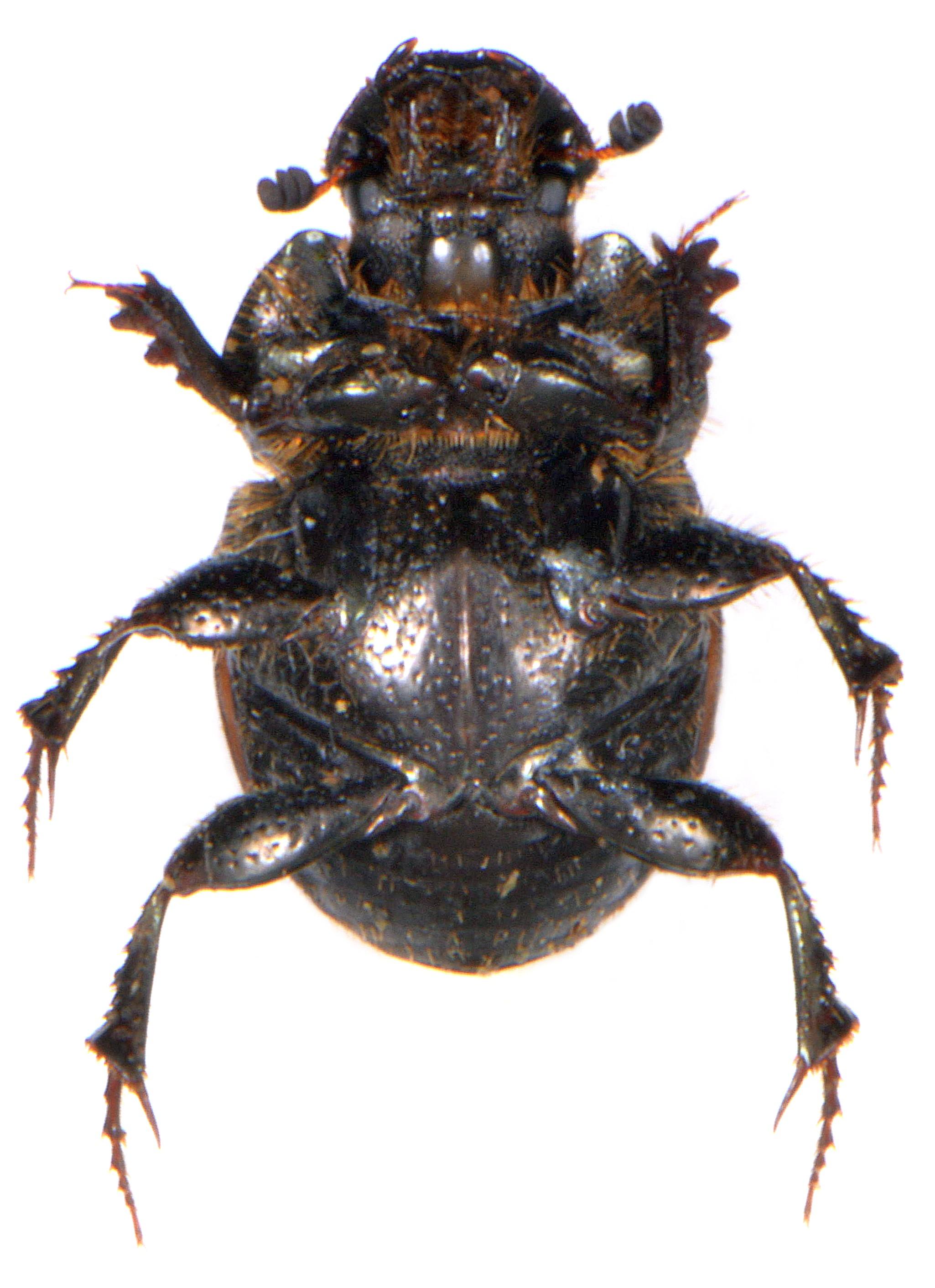Onthophagus similis 3