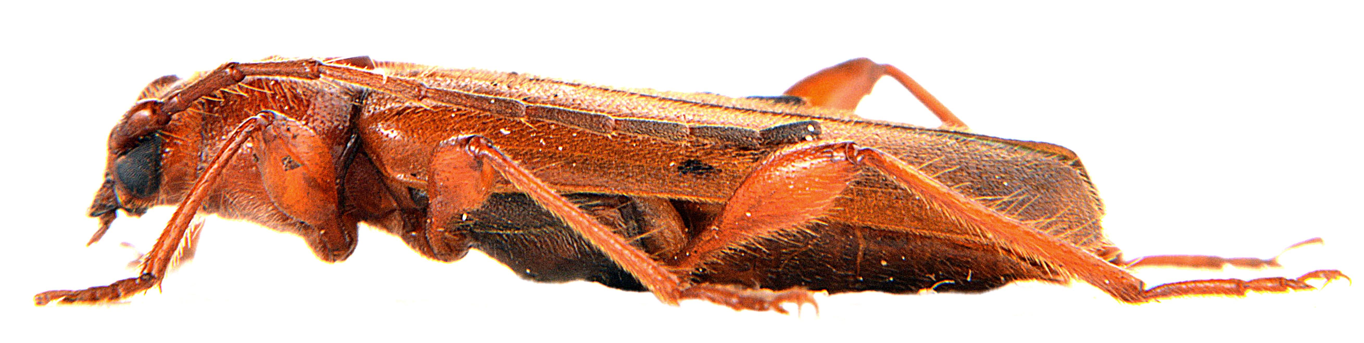 Phymatodes testaceum 6