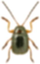 Cryptocephalus frontalis.jpg