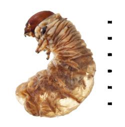 Aphodius fimetarius larva