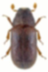 polygraphus_poligraphus_1.jpg