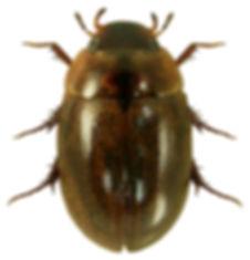 Anacaena bipustulata 1lb.jpg