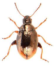 Hippuriphila modeeri.jpg