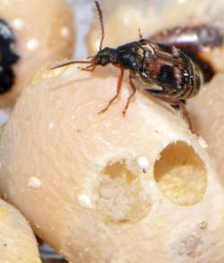 Callosobruchus maculatus 6