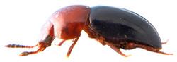 Agathidium nigripenne 4