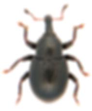 Leiosoma deflexum.jpg