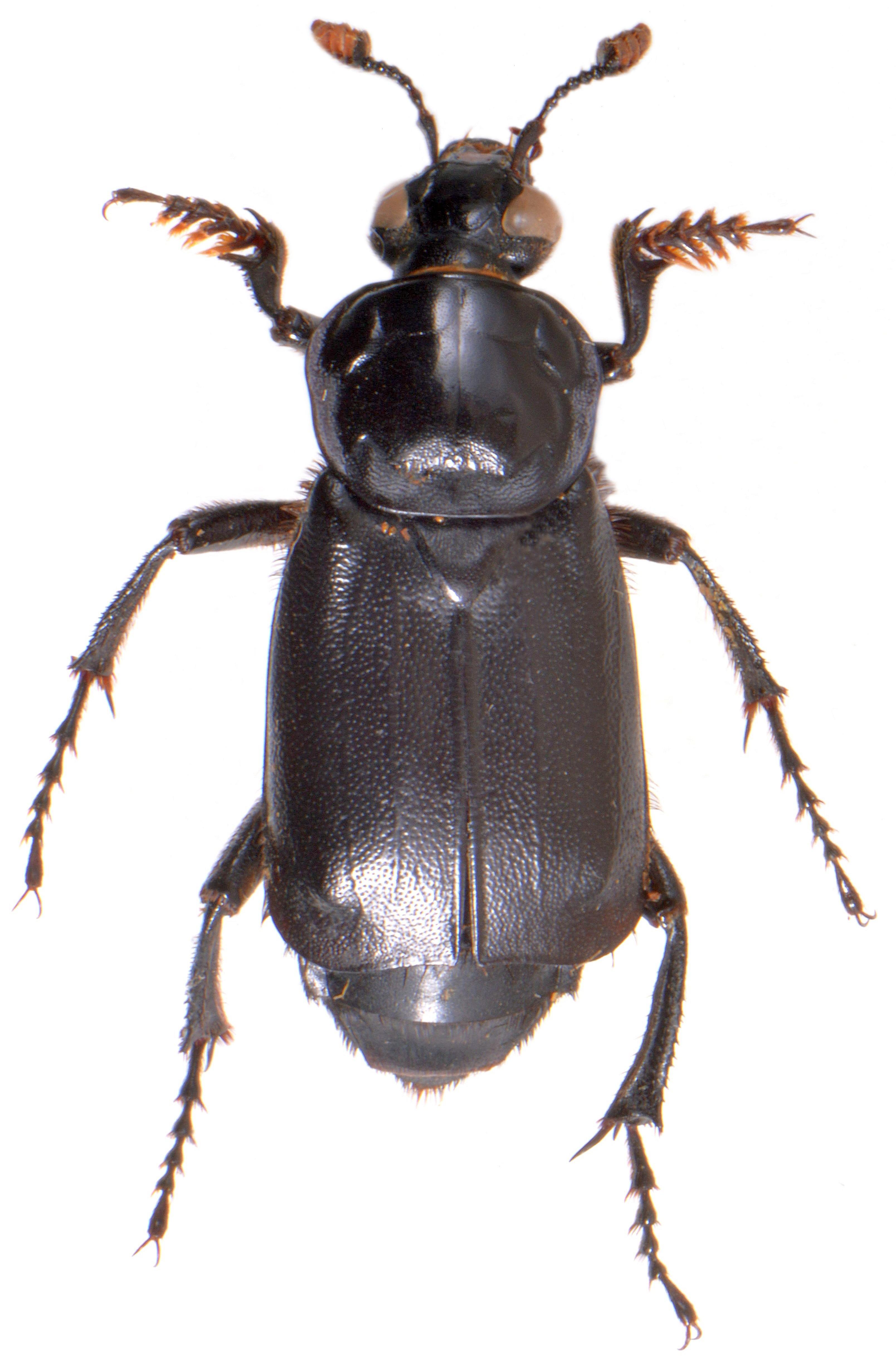 Nicrophorus humator 2