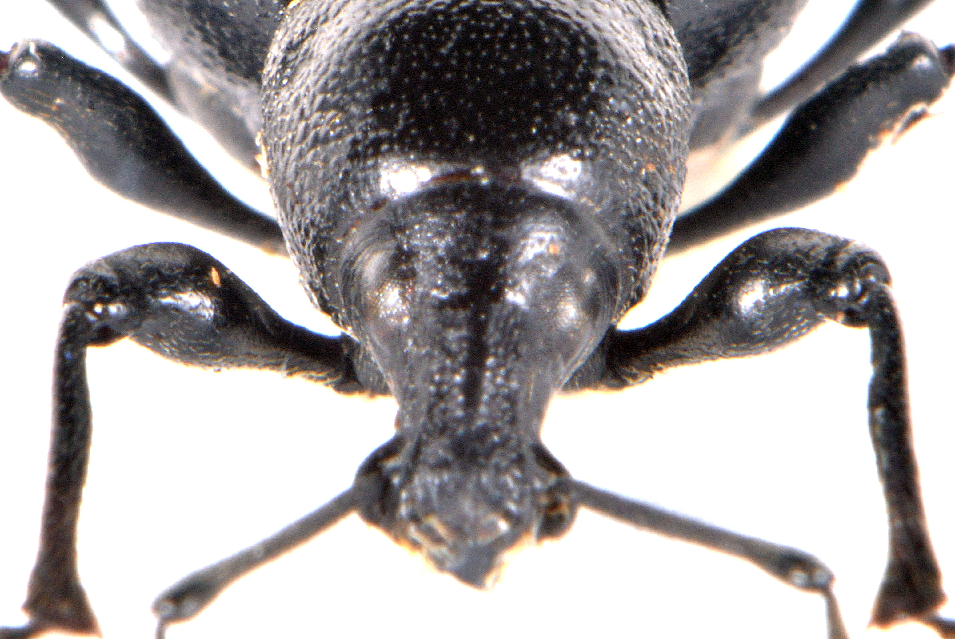 Otiorhynchus morio 3