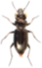 Notiophilus palustris 1.jpg