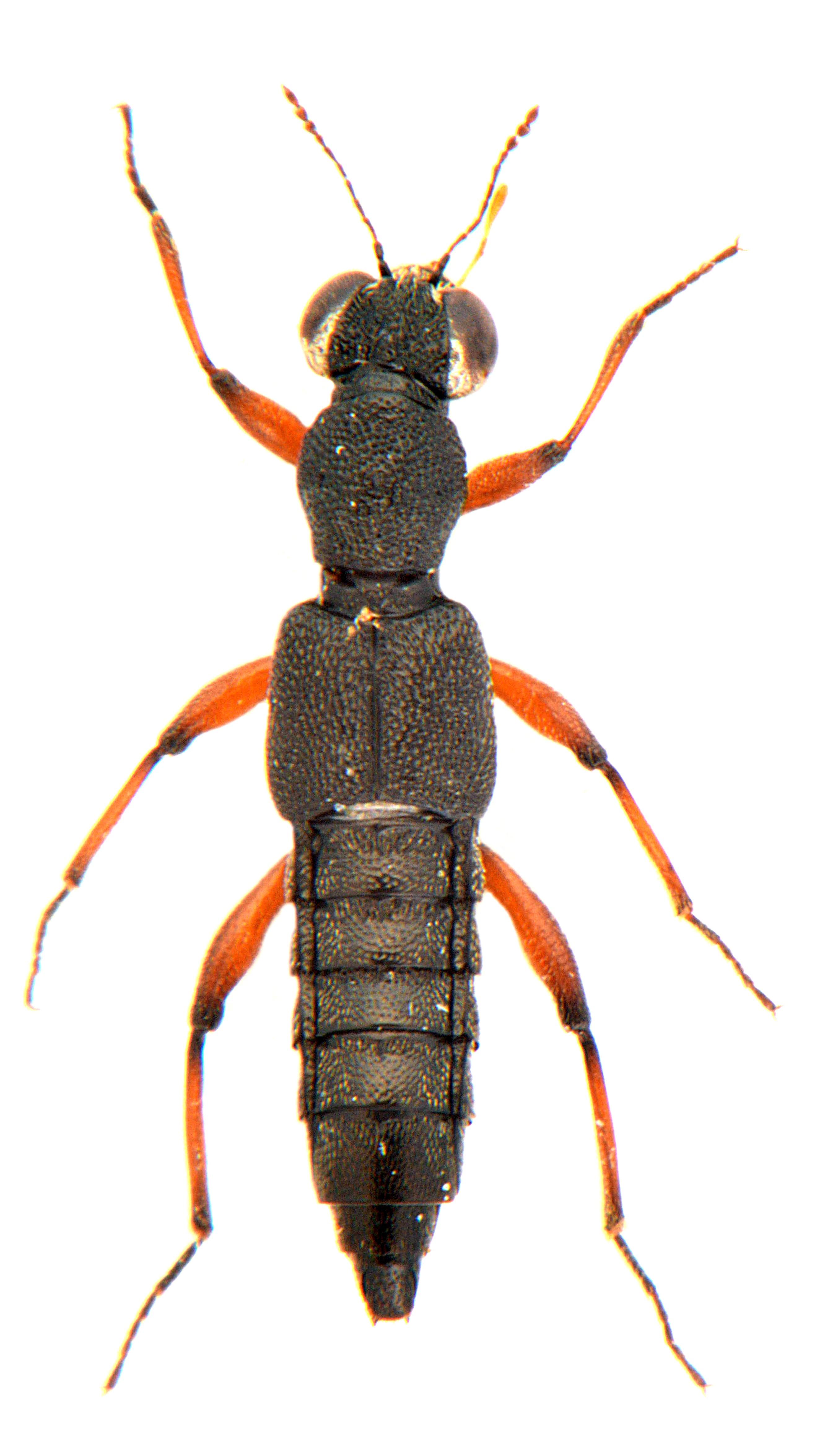 Stenus clavicornis 2