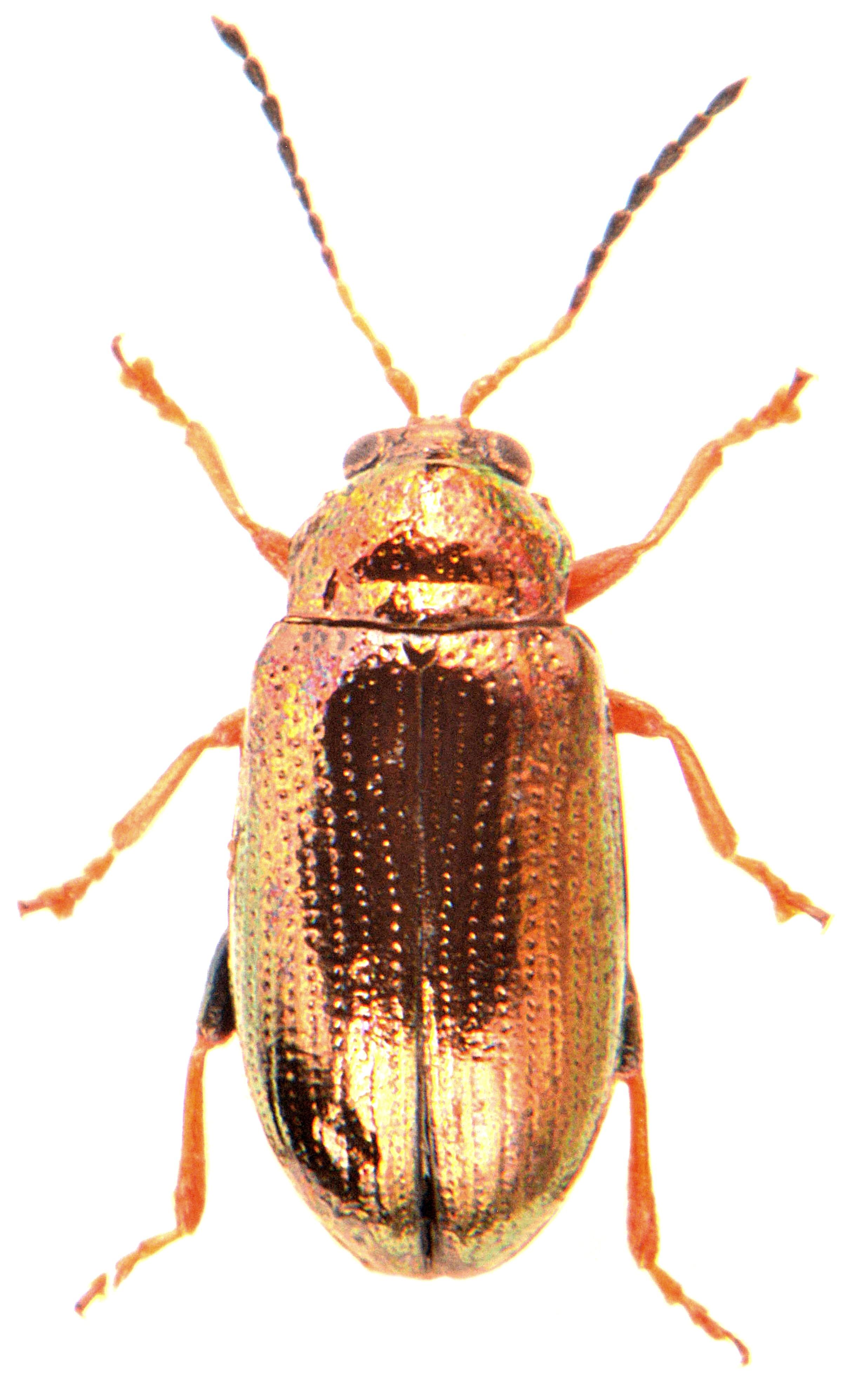 Crepidodera plutus 2