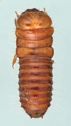 Dascillus cervinus larva