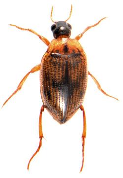 H. (Neohaliplus) lineatocollis