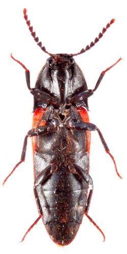 Ampedus cinnabarinus 3