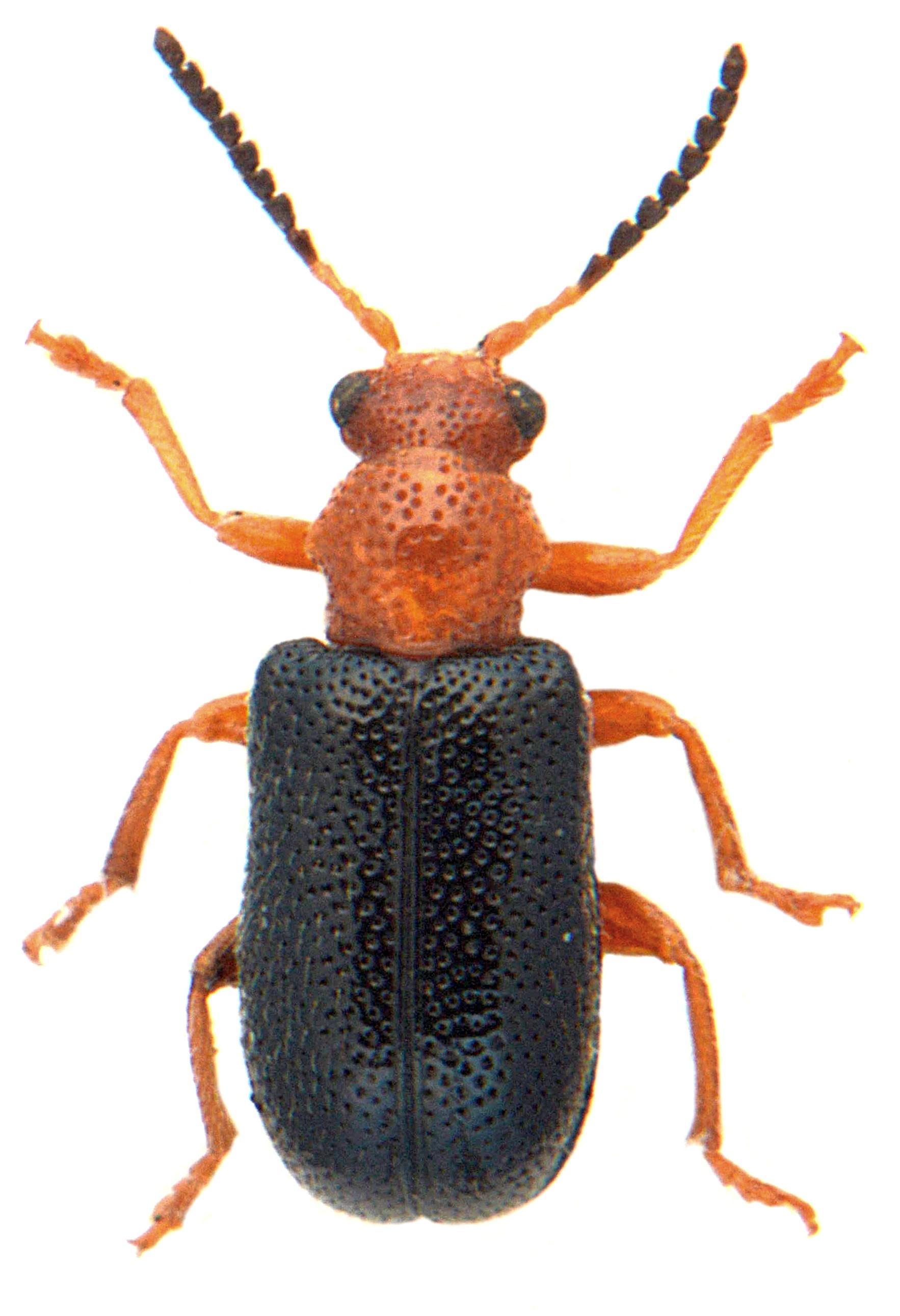 Zeugophora subspinosa