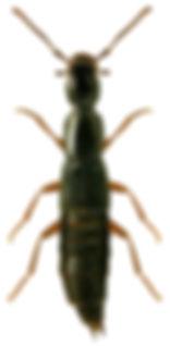 Ochthephilum fracticorne.jpg