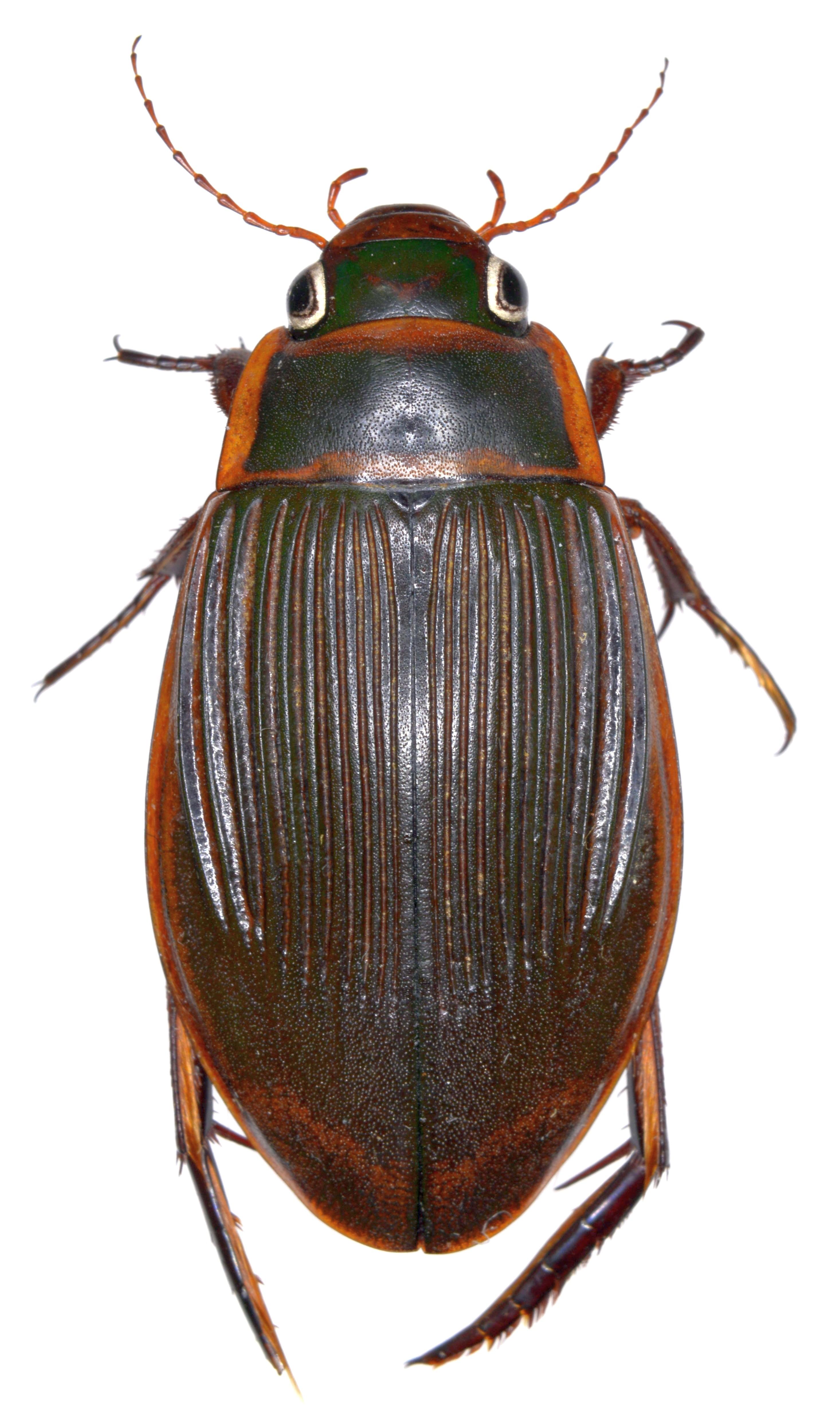 Dytiscus marginalis ♀