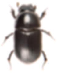 Agriliinus ater 3.jpg